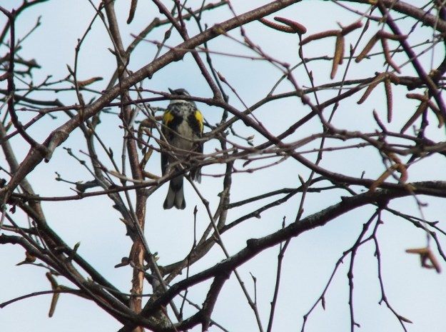 yellow rumped warbler - myrthle version - looks left through tree limbs -- oxtongue lake - ontario