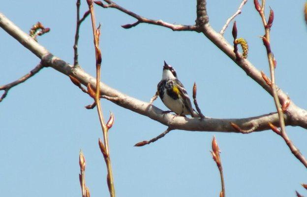 yellow rumped warbler - myrthle version - sings in tree - oxtongue lake - ontario