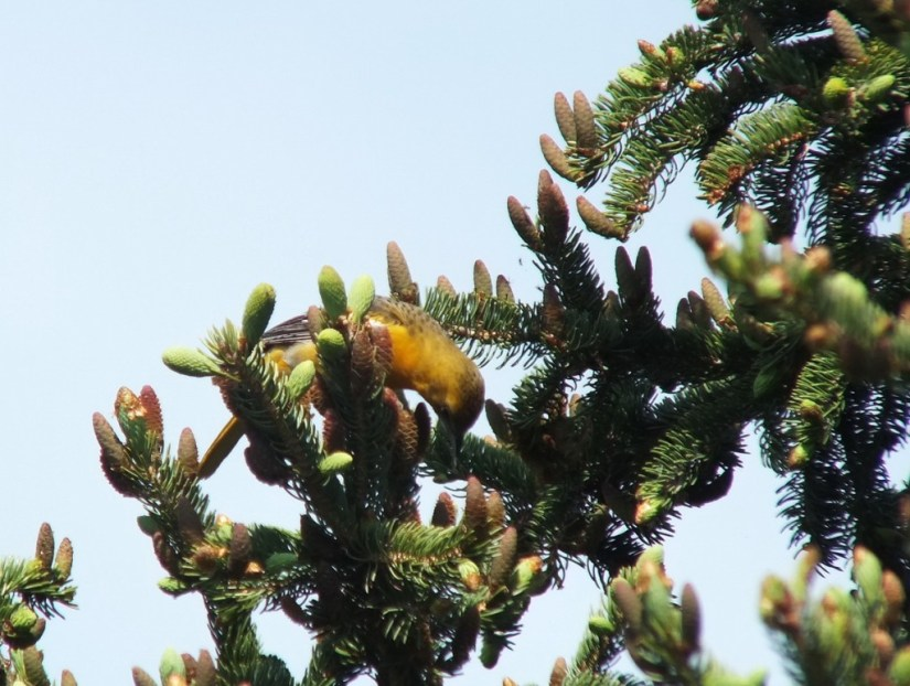 Baltimore Oriole female eating in spruce tree - Second Marsh - Oshawa - Ontario
