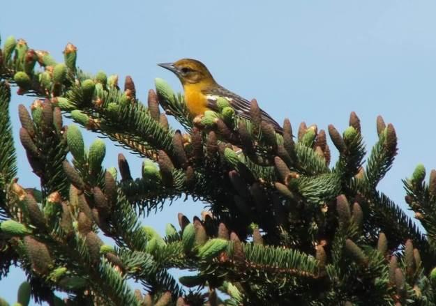 Baltimore Oriole female in spruce tree - Second Marsh - Oshawa - Ontario