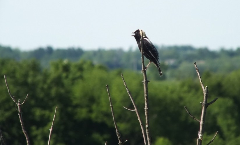 Bobolink - profile on tree - forks of the credit provincial park - ontario