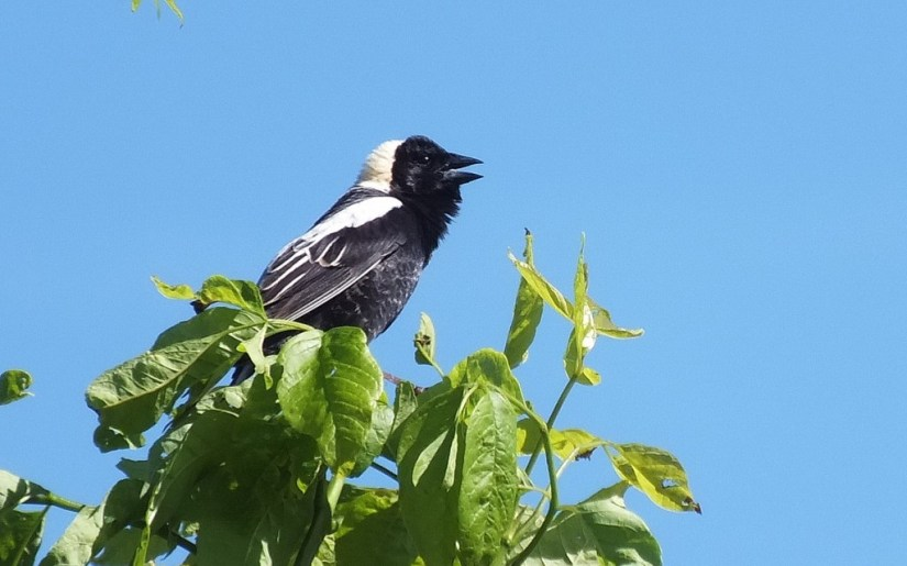 Bobolink - sings out - kettle trail - forks of the credit provincial park - ontario