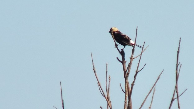 Bobolink - view of its back - forks of the credit provincial park - ontario