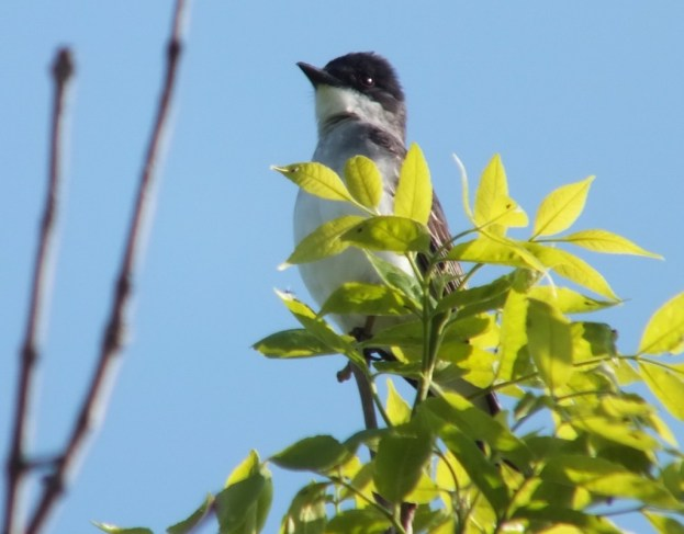 Eastern Kingbird - at attention - Second Marsh - Oshawa - Ontario