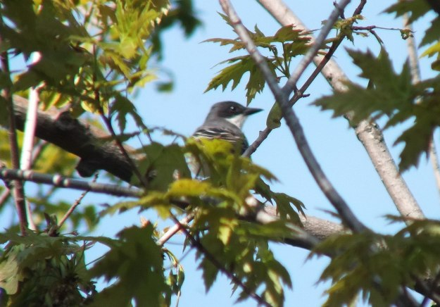 Eastern Kingbird in maple tree - Second Marsh - Oshawa - Ontario