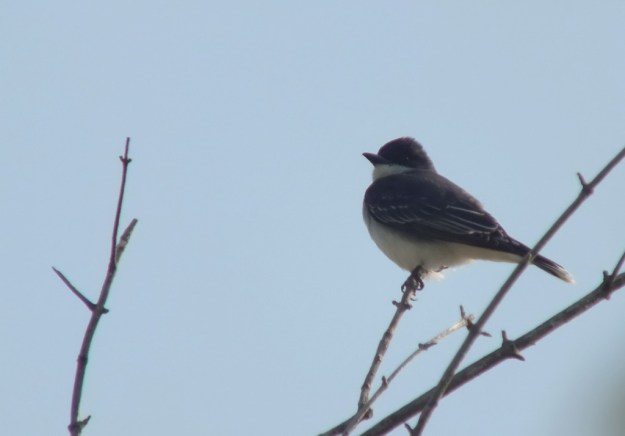 Eastern Kingbird in top of tree - Second Marsh - Oshawa - Ontario