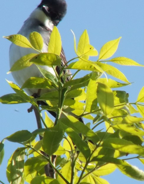 Eastern Kingbird - is curious - Second Marsh - Oshawa - Ontario