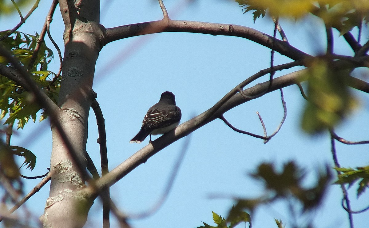 an eastern kingbird at second marsh in oshawa