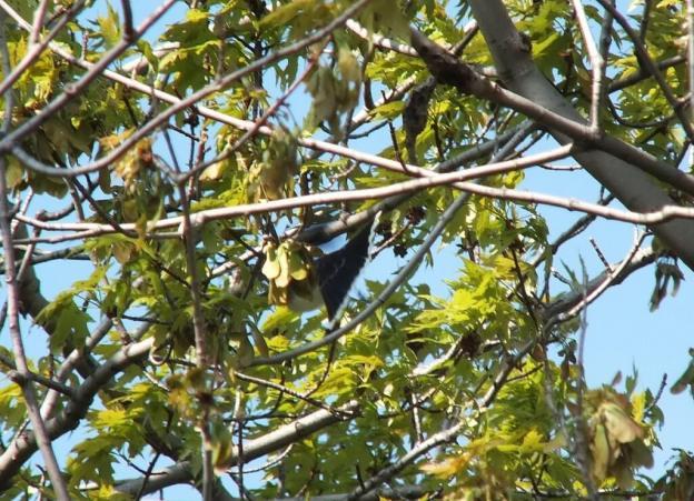 Eastern Kingbird - white tip on tail - Second Marsh - Oshawa - Ontario