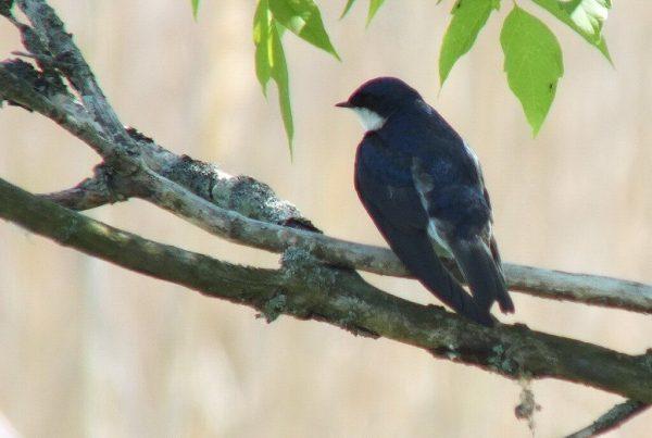 Tree Swallow at rest - Second Marsh - Oshawa - Ontario