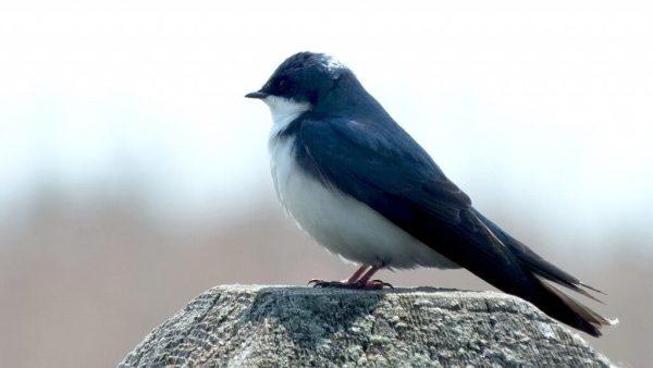 Tree Swallow - dainty feet - Second Marsh - Oshawa - Ontario