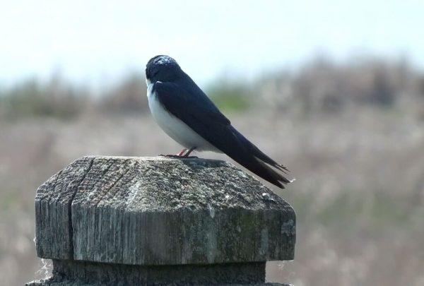 Tree Swallow looks at the marsh - Second Marsh - Oshawa - Ontario
