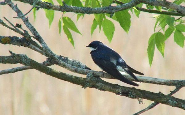 Tree Swallow - pretty blue - Second Marsh - Oshawa - Ontario