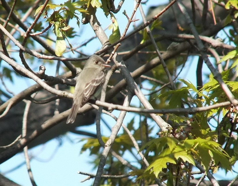 Willow Flycatcher in maple tree - Second Marsh - Oshawa - Ontario