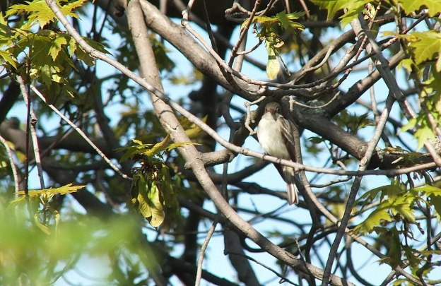 Willow Flycatcher looks at camera from tree - Second Marsh - Oshawa - Ontario