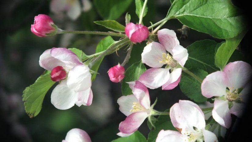 apple blossoms - springtime - toronto - ontario