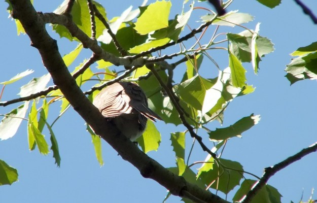 black billed cuckoo - back - forks of the credit provincial park - ontario