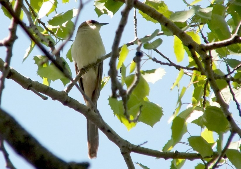 black billed cuckoo - gives us a look from tree - forks of the credit provincial park - ontario