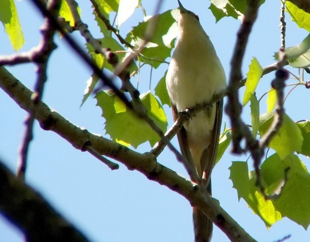 black billed cuckoo - looks ahead - forks of the credit provincial park - ontario