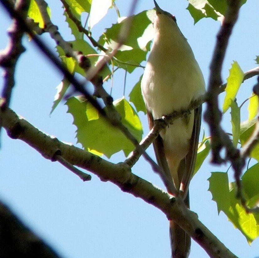 black billed cuckoo - looks ahead - forks of the credit provincial park - ontario