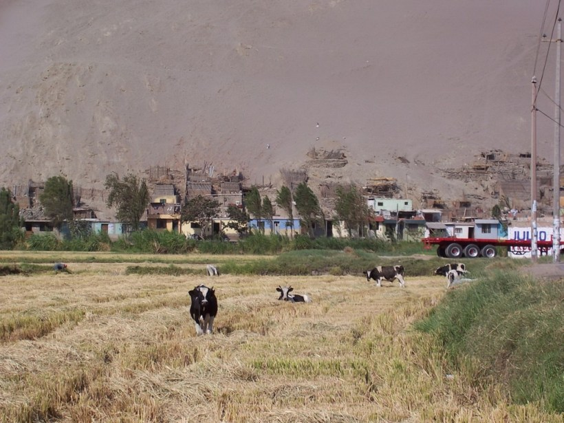 cows in farm fields near camana - peru