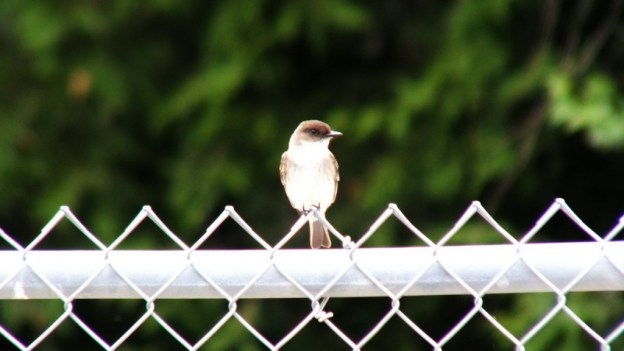 eastern phoebe - sits on fence - green river - whitevale - ontario