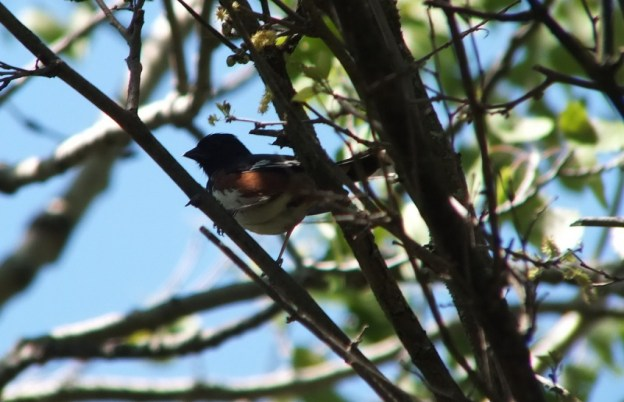 eastern towhee among tree branches - trans canada trail - forks of the credit - caledon - ontario