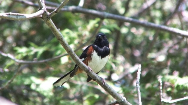 eastern towhee looks left - trans canada trail - forks of the credit - caledon - ontario