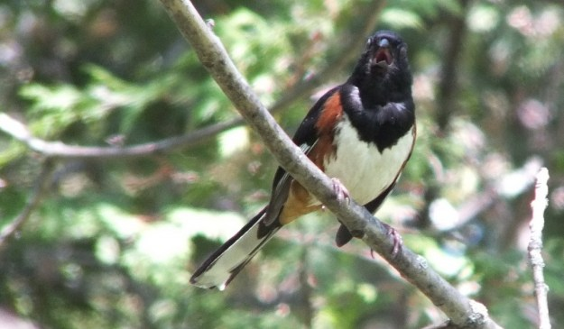 eastern towhee sings - trans canada trail --- forks of the credit - caledon - ontario