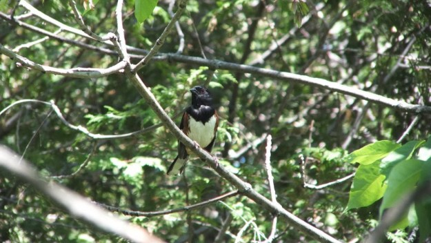 eastern towhee sits on branch - trans canada trail - forks of the credit - caledon - ontario