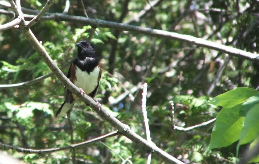 eastern towhee - trans canada trail - forks of the credit - caledon - ontario