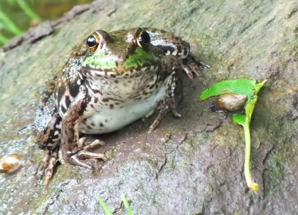 green frog - stares me down - seaton trail - green river - whitevale - ontario