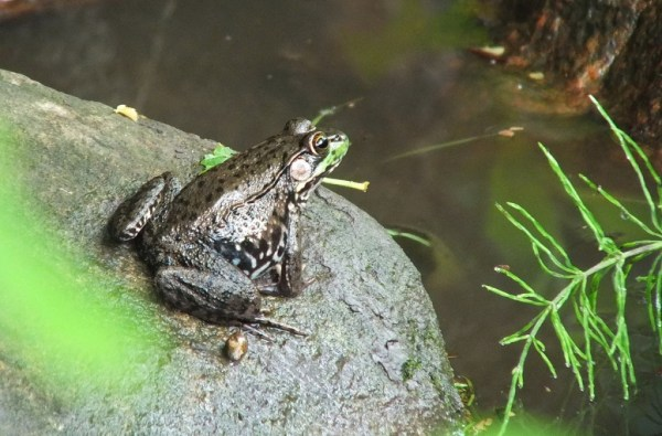 green frog - view of back - seaton trail - green river - whitevale - ontario