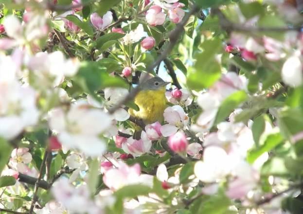 nashville warbler - hidden in apple blossoms - toronto - ontario