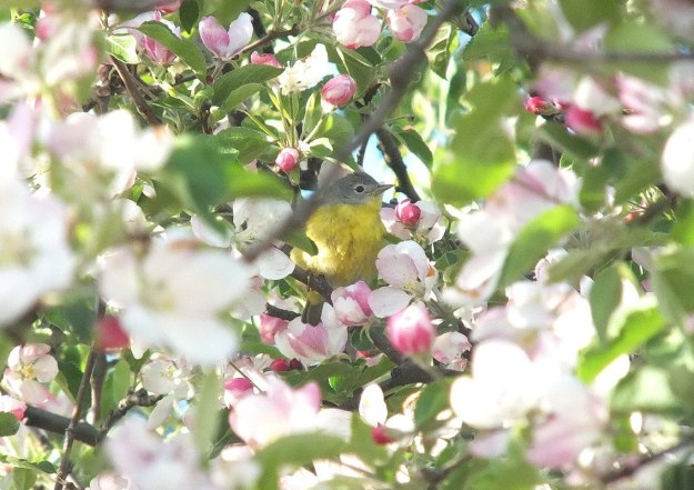 nashville warbler - hidden in apple blossoms - toronto - ontario