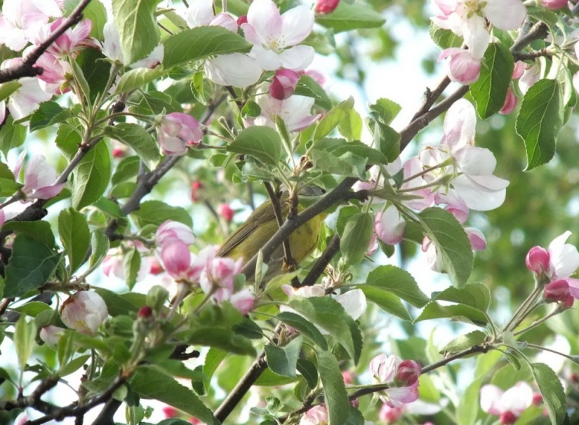 nashville warbler - lost in apple blossoms - toronto - ontario