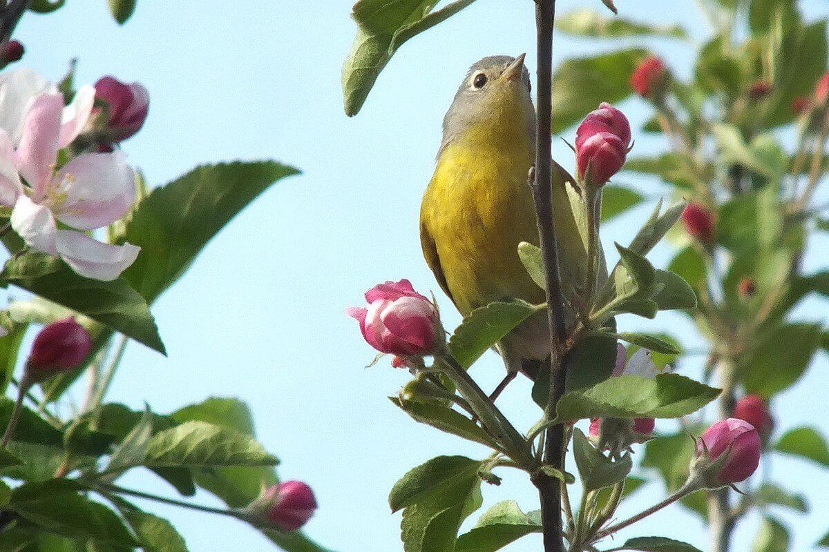 a nashville warbler enjoys blossoms in our backyard