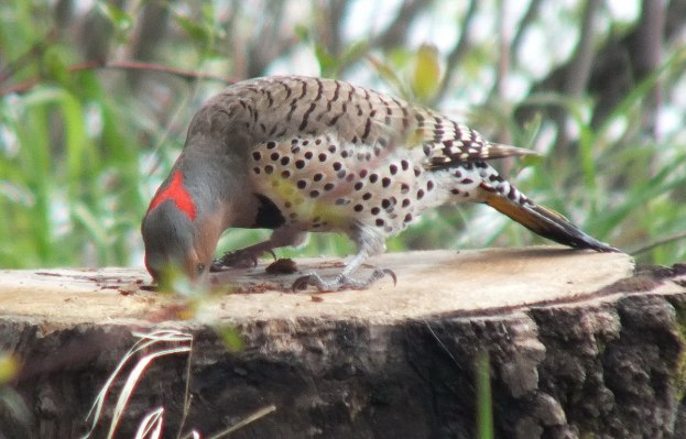 northern flicker - digs deep in stump for a grub - oxtongue lake - ontario