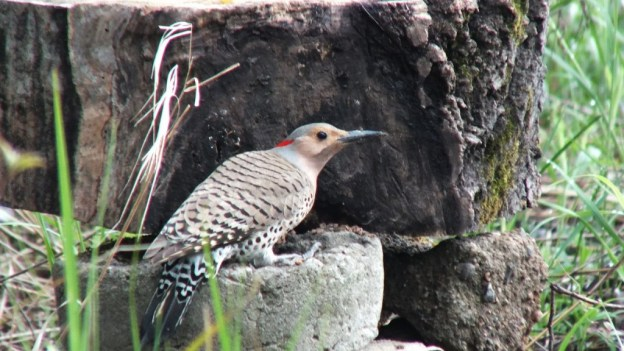 northern flicker - gives me a look - oxtongue lake - ontario