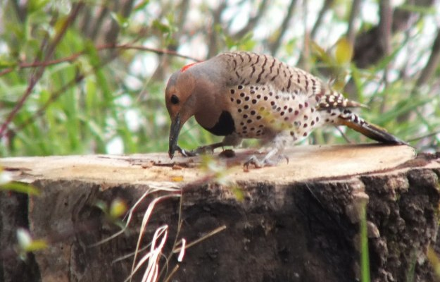 northern flicker - holds a grub in beak - oxtongue lake - ontario