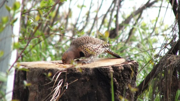 northern flicker - on the hunt for grubs - oxtongue lake - ontario