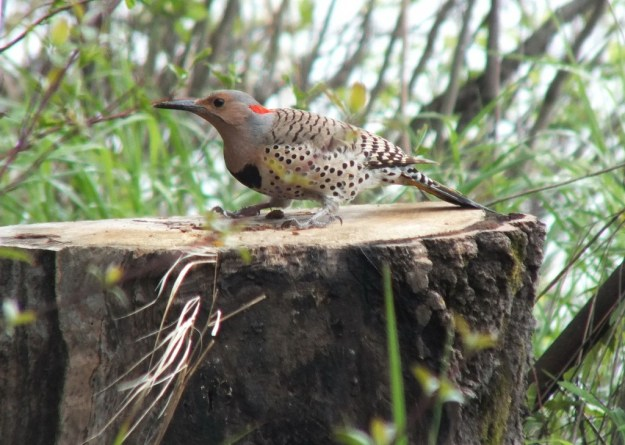 northern flicker - sits atop tree stump - oxtongue lake - ontario