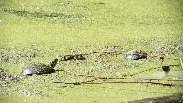 two painted turtles in pond near forks of the credit - ontario
