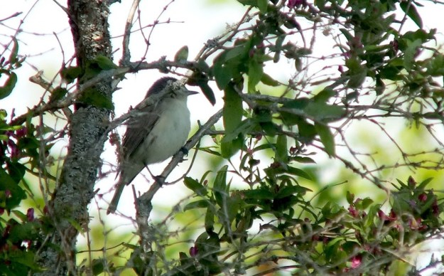 warbling vireo - sits hidden in tree - second marsh - oshawa - ontario