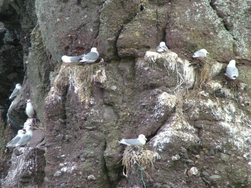 seagull nests on rock cliff at dunmore east in county waterford - ireland