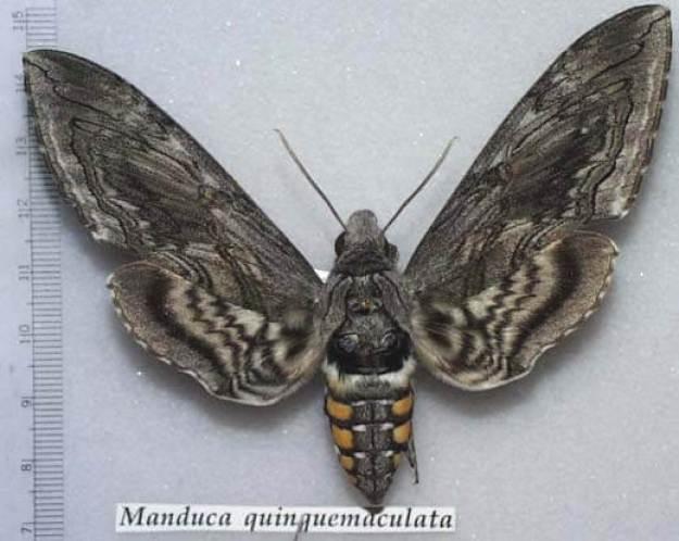Adult Tomato Hornworm Moth - Arizona