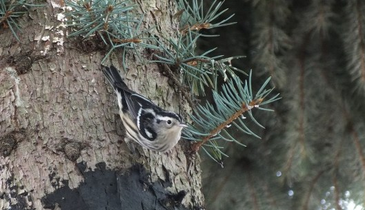Black-and-white Warbler - looks towards camera - Frame To Frame Bob & Jean