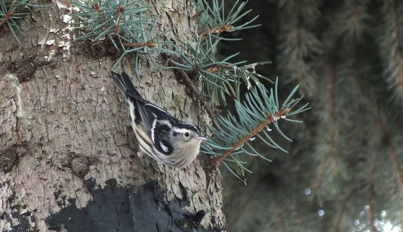 Black-and-white Warbler, toronto, ontario