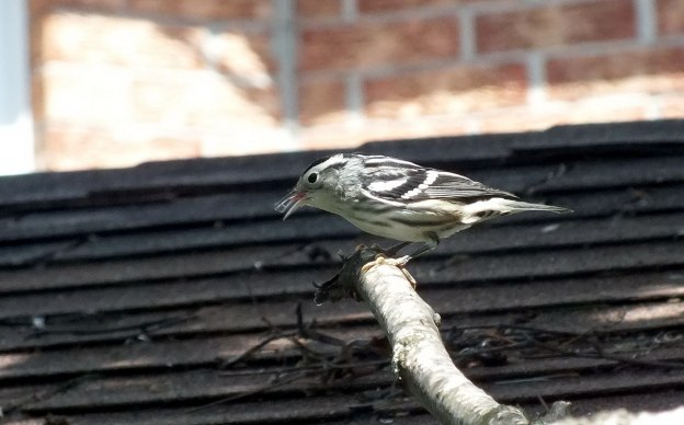 Black-and-white Warbler sings - Frame To Frame Bob & Jean