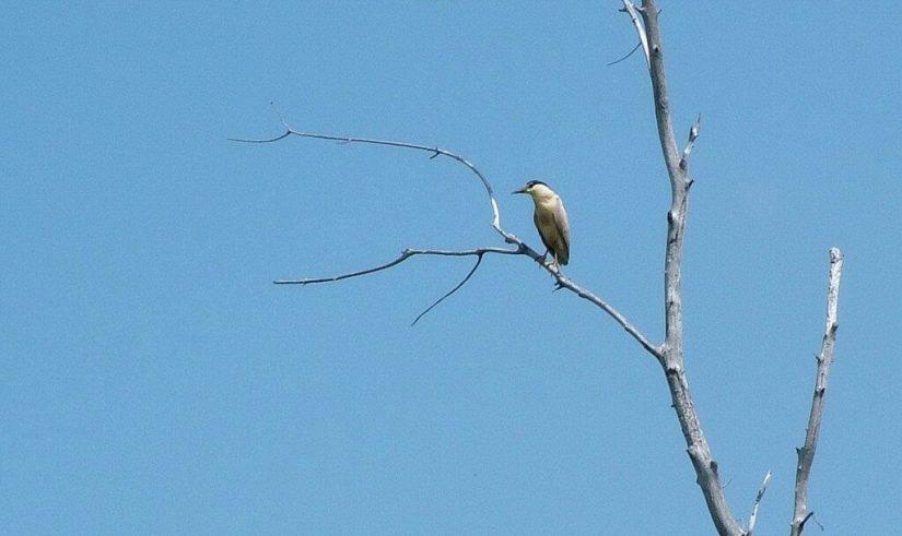 Black-crowned Night Heron, minesing swamp, ontario